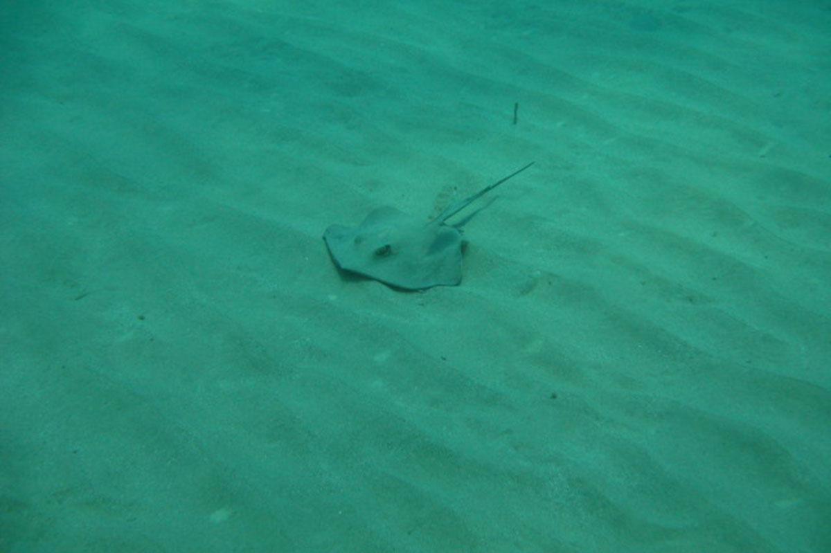 Stingray on a dive in Paphos