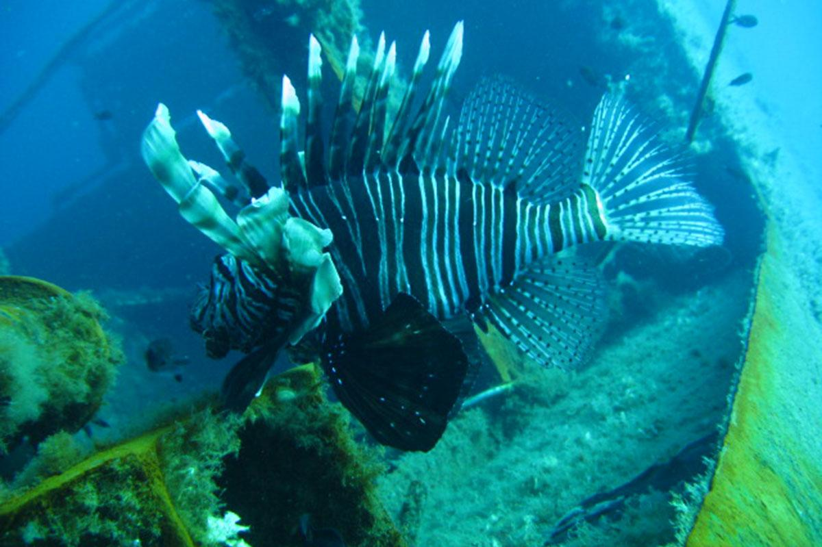 Lionfish on the Zenobia