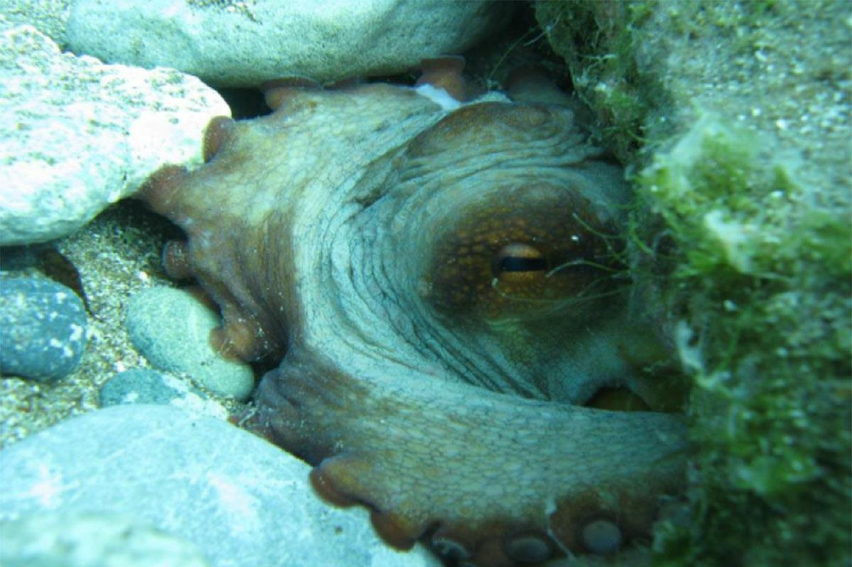 Latchi Octopus