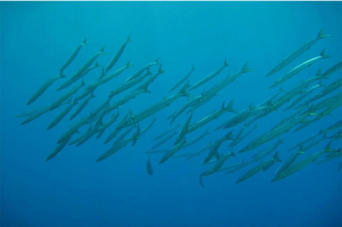 Shoaling barracuda