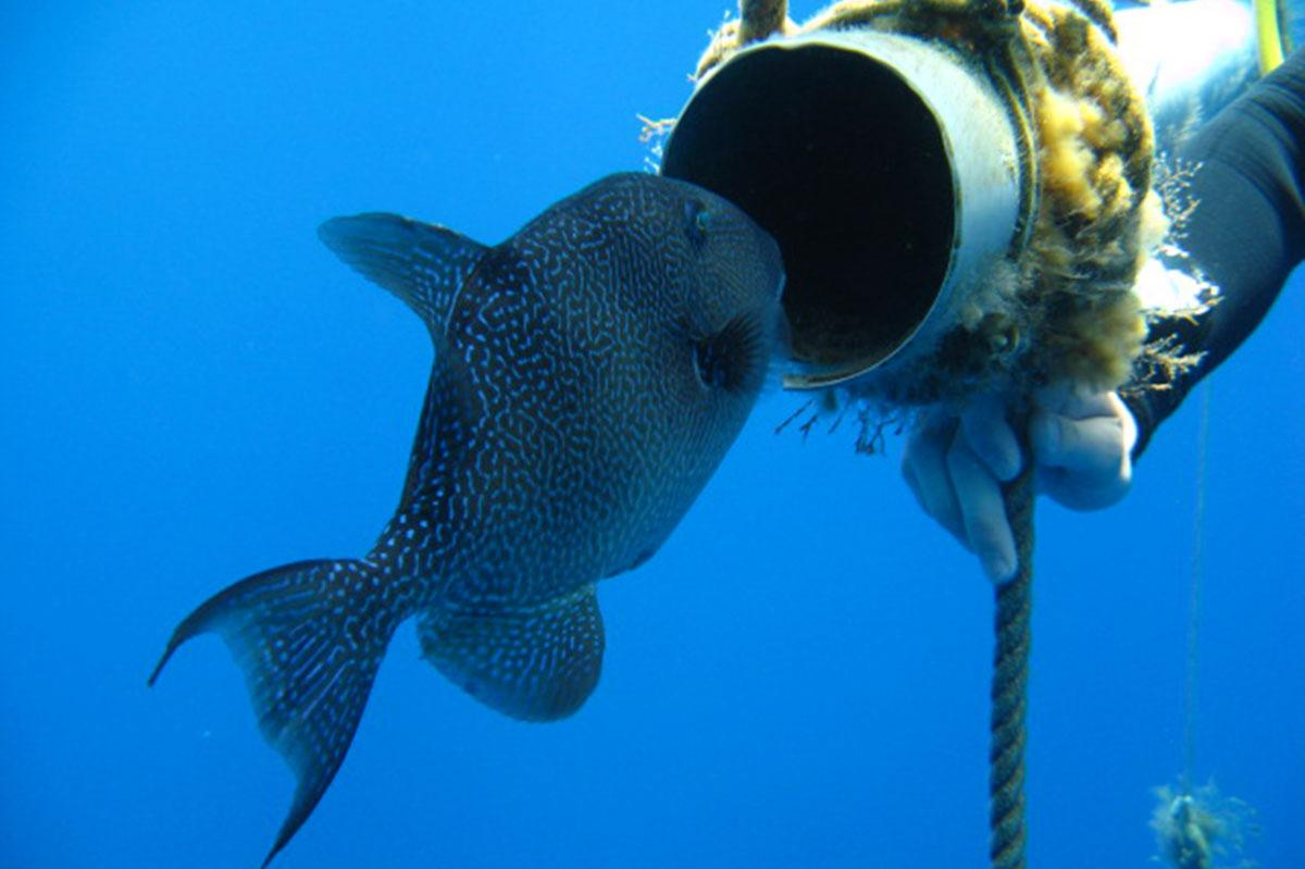 Triggerfish on a Zenobia line