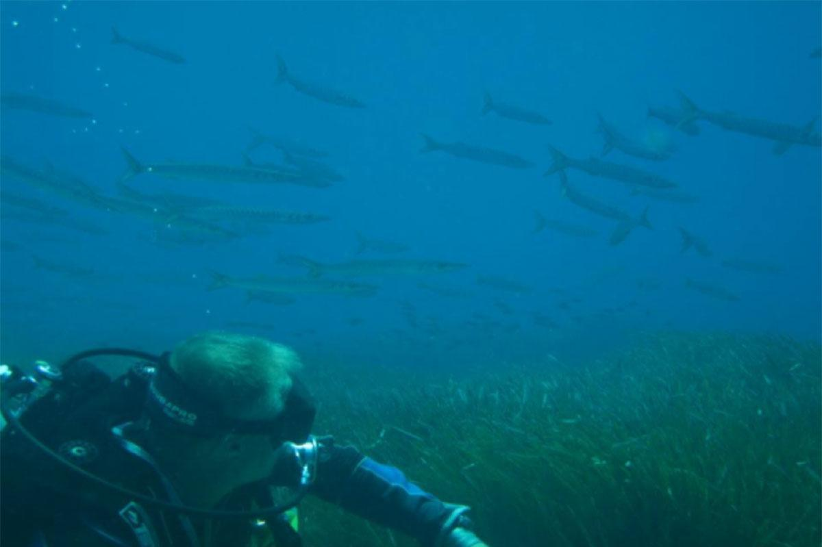 Barracuda and diver St Georges Island
