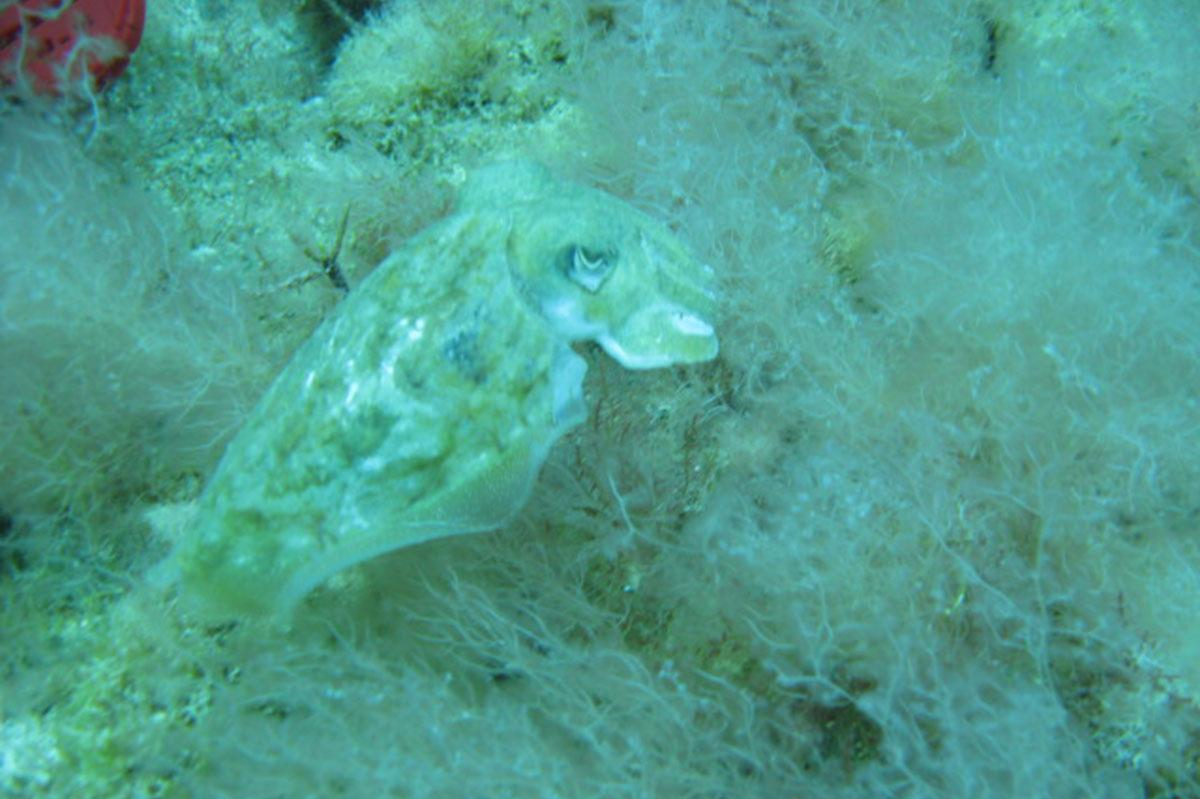 Cuttlefish Diving in Limassol