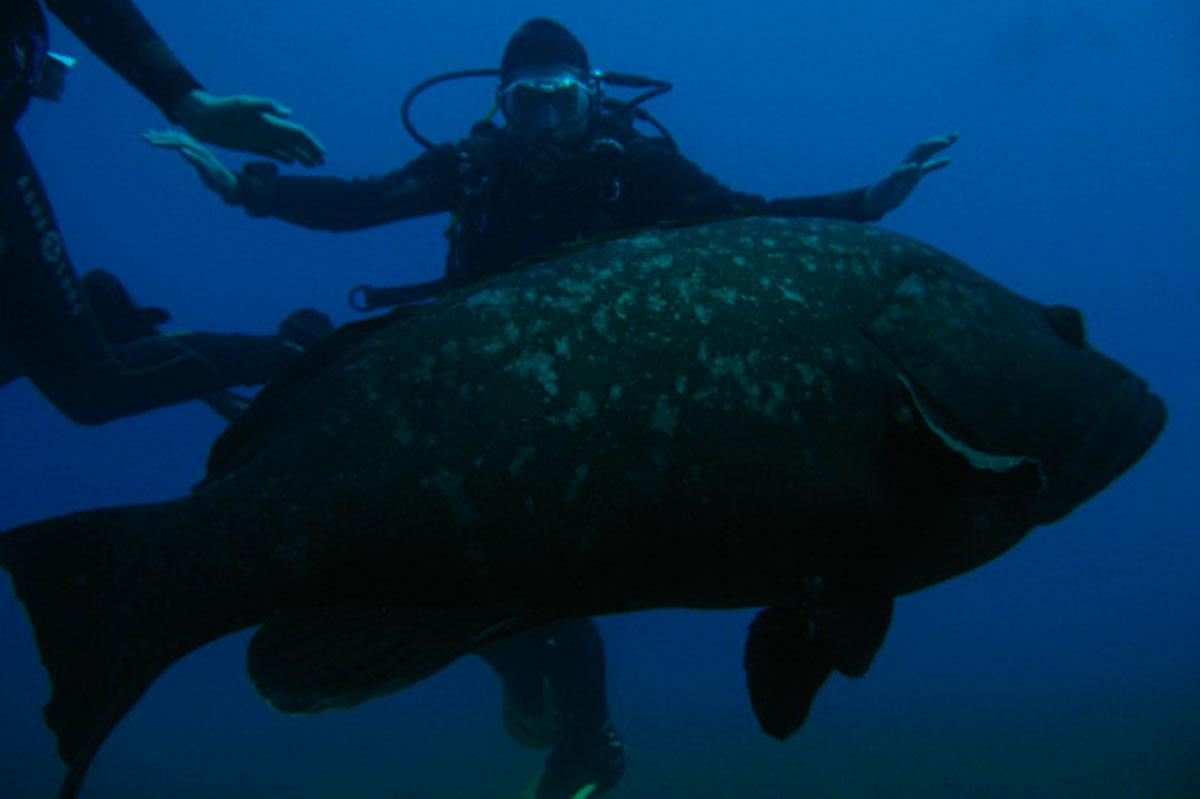 Massive Grouper diving in Paphos