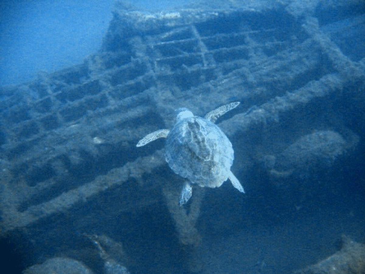 Zenobia turtle
