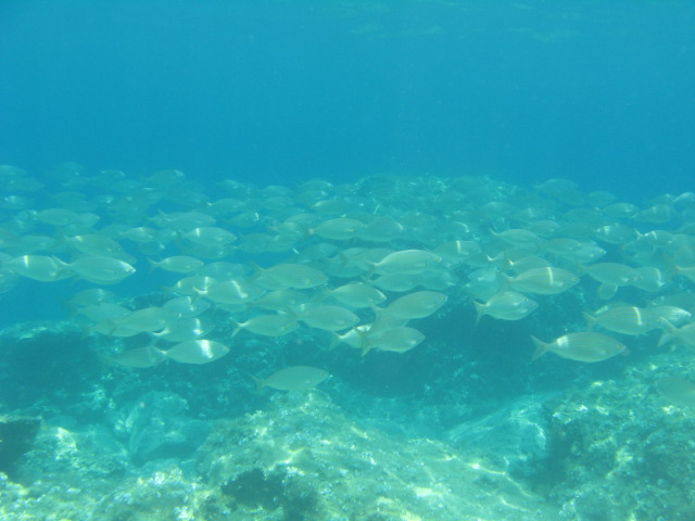 diving in paphos with a large shoal of cow bream