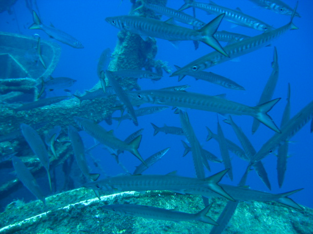 Zenobia Wreck shoal of Barracuda