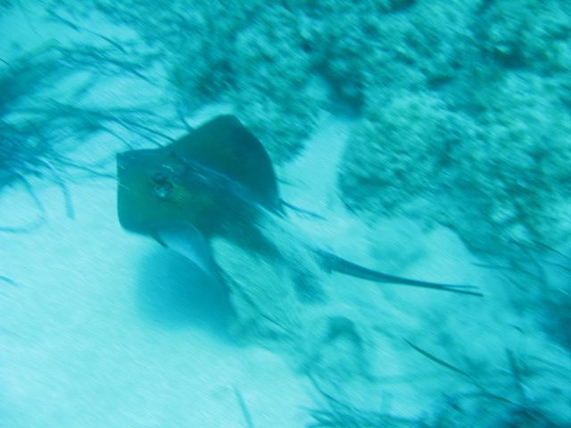 Paphos diving with a large ray
