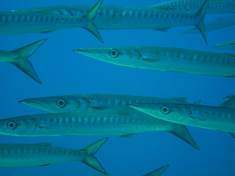 Shoal of barracuda