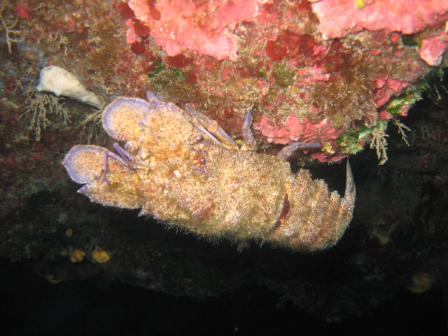 Slipper lobster on Jubilee shoals dive site