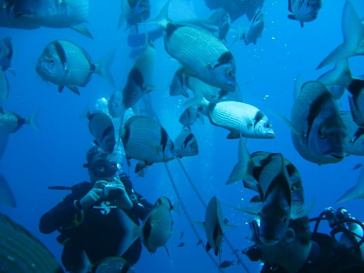 Divers with two banded sea bream