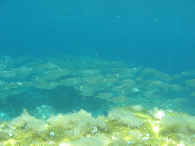 Cow bream at our beginners dive site in Paphos